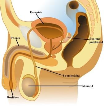 Meeste suguelundite suurused